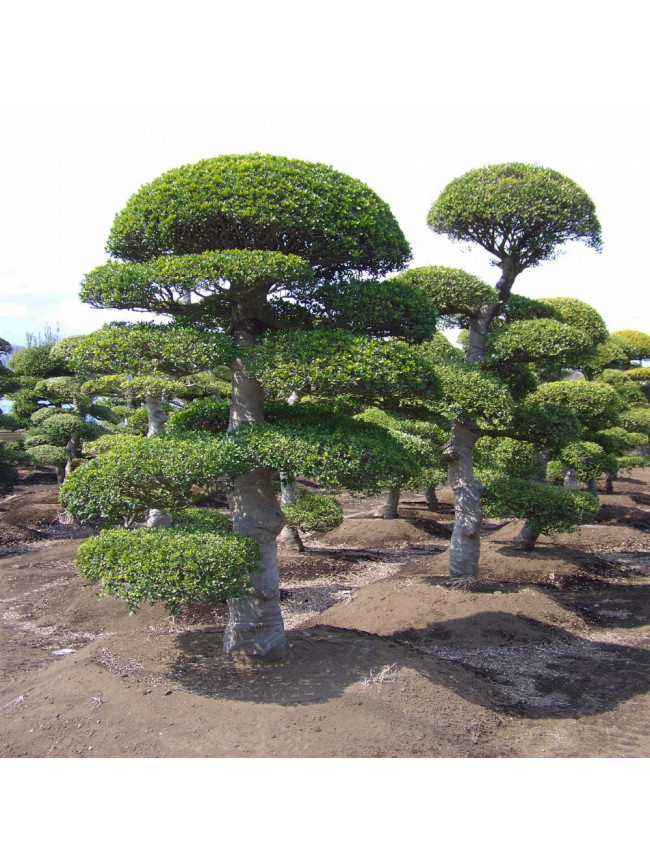 Straight trunk - Japanese pruning basics