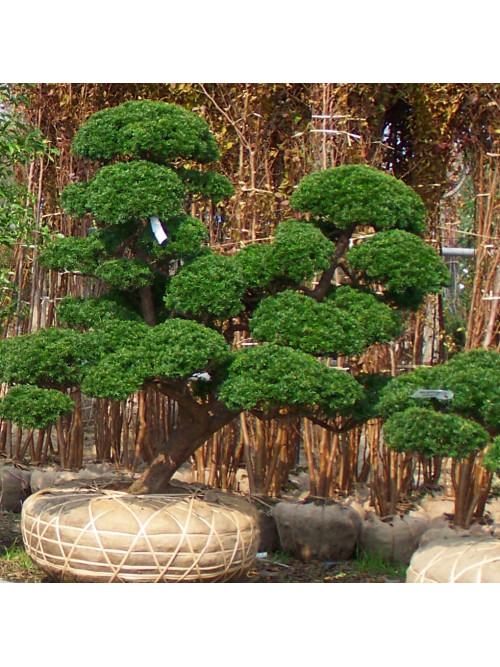 Multiple trunk - Advanced training in Japanese pruning