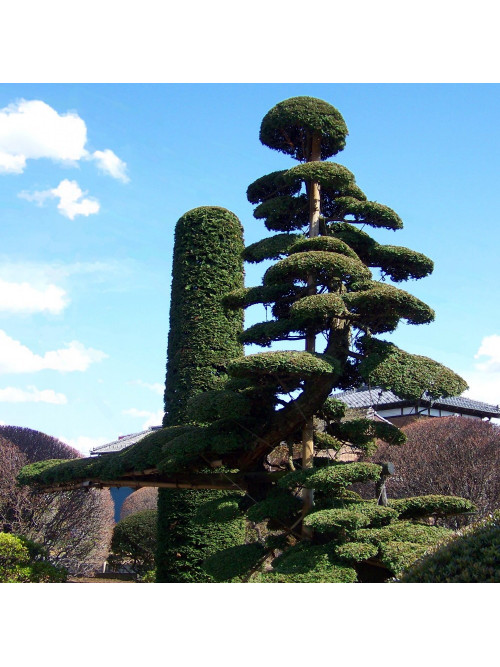 Deposit/Balance Pines and sinuous trunks - Advanced japanese pruning